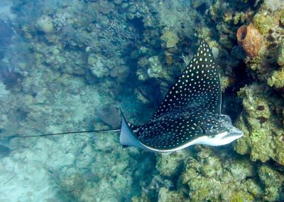 west-end-divers-resort-roatan-diving-eagle-ray